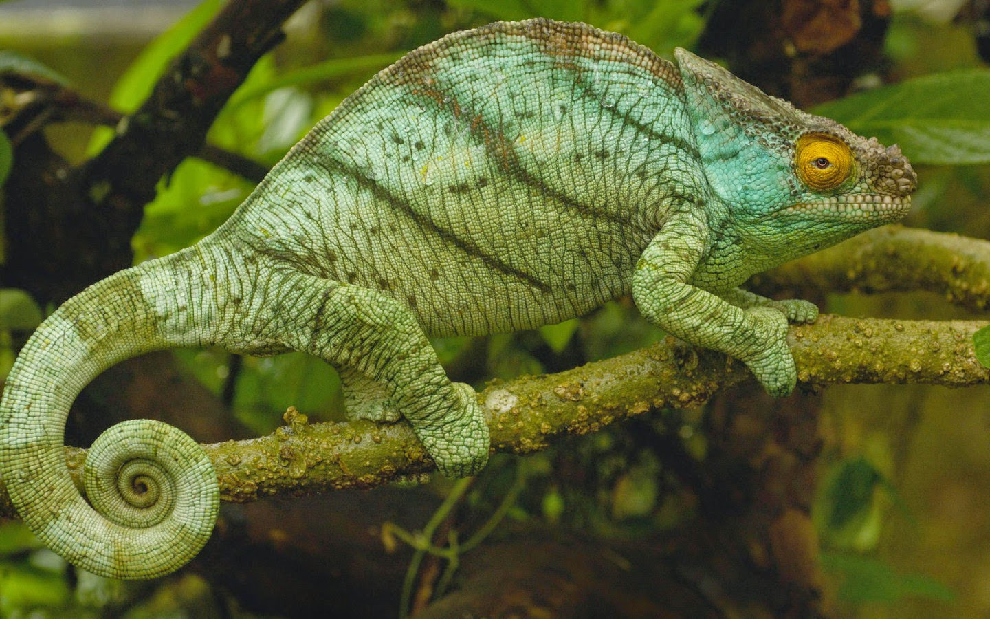chameleon life cycle diagram paragon defrost timer wiring chameleons adaptations survival related keywords
