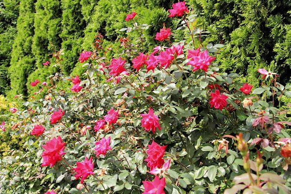Roses In Garden: A GUIDE TO NORTHEASTERN GARDENING: Garden Bloggers' Bloom