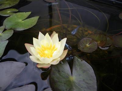 姫睡蓮の花