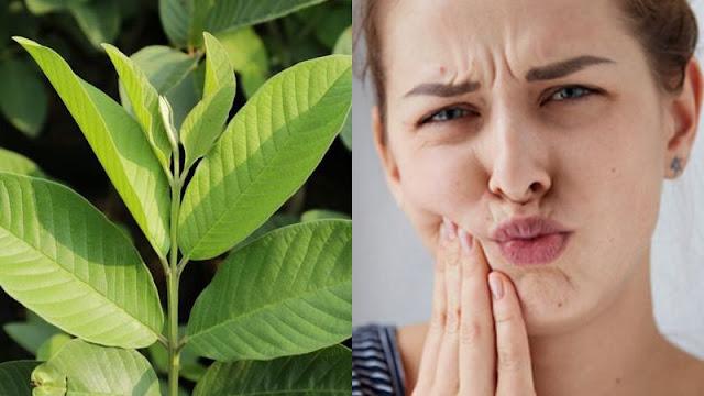 cara mengobati sakit gigi dengan daun jambu