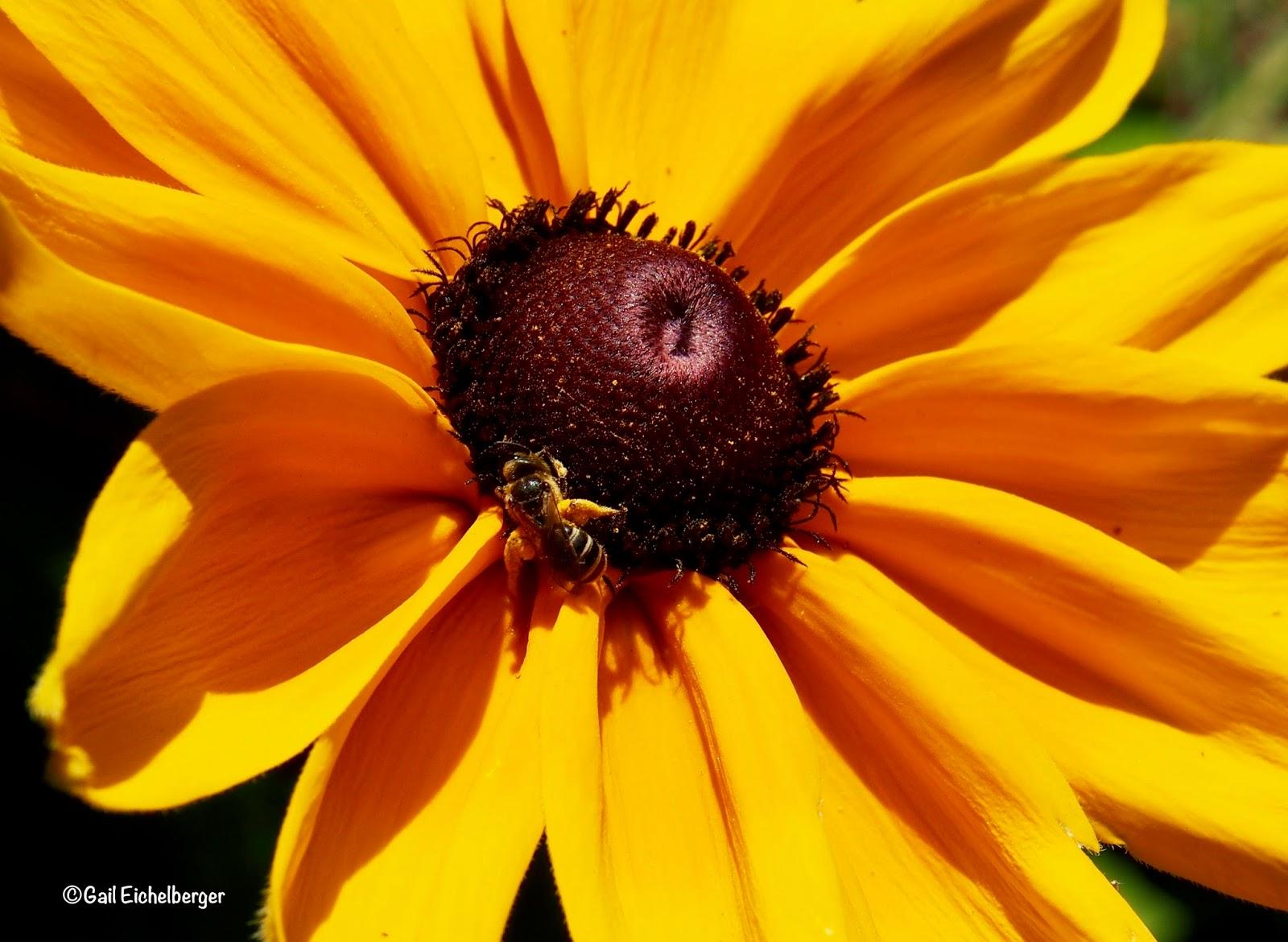clay and limestone: Gloriosa Daisies for National Pollinator Week
