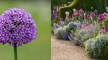 Bordura inglesa con Allium en los jardines de Arundel Castle