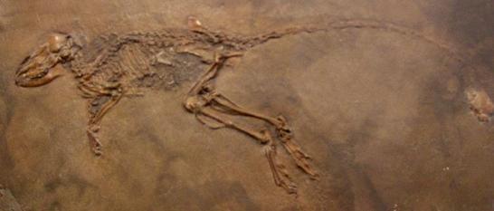 Fosil Miacis