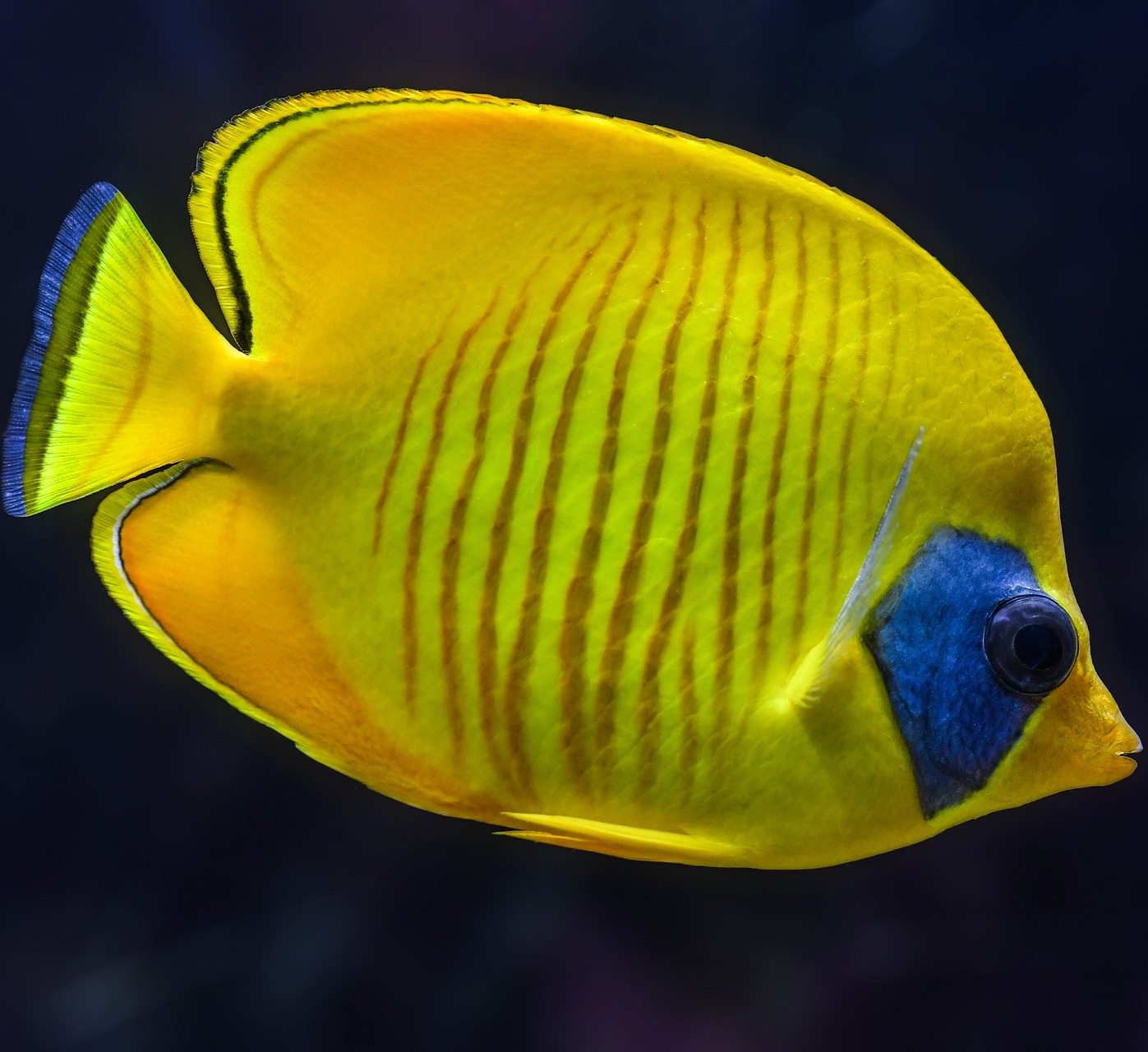 Picture of a masked butterfly fish up close.