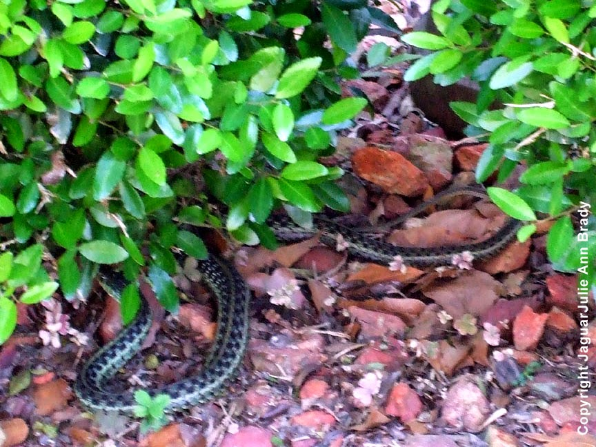 Common Garter Snake ~ Jacksonville Florida