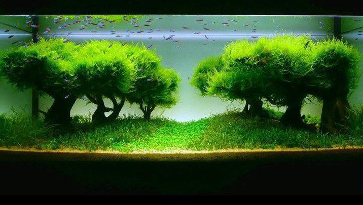 All about betta fish: planted aquarium with java moss