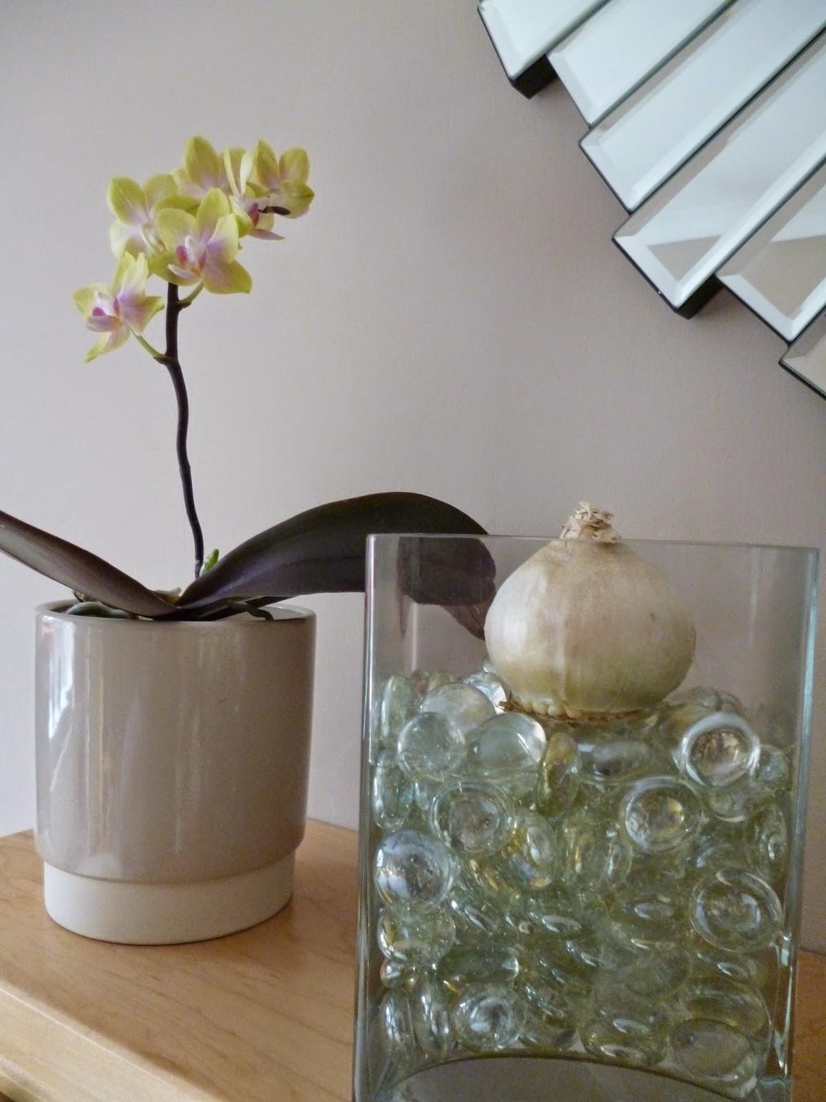 How to grow Hyacinth bulb vase for Christmas