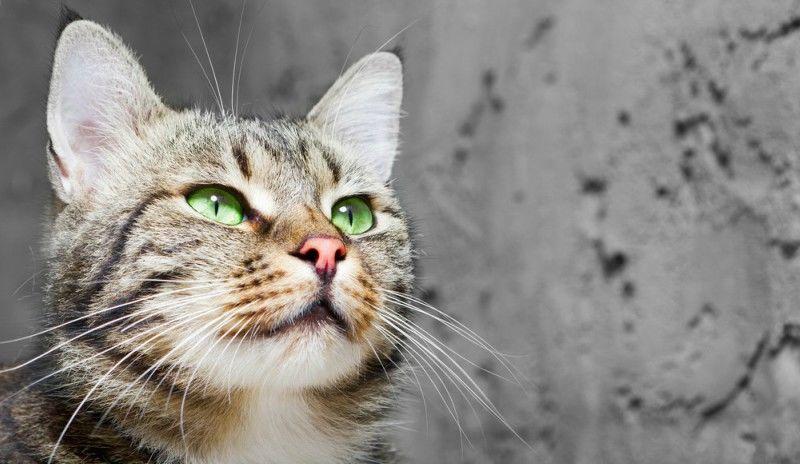 Τι μπορεί να σημαίνει όταν η γάτα πιέζει το κεφάλι της στον τοίχο;