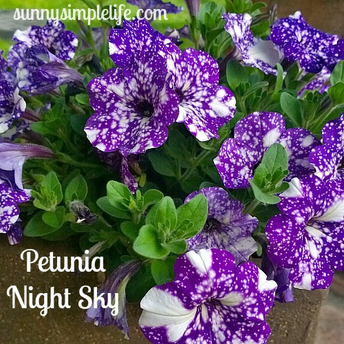 night sky petunia, starry night petunia