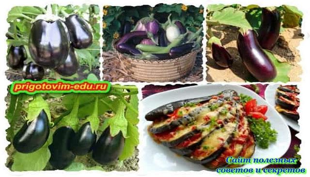 Что можно сажать рядом с баклажанами для наилучшего урожая