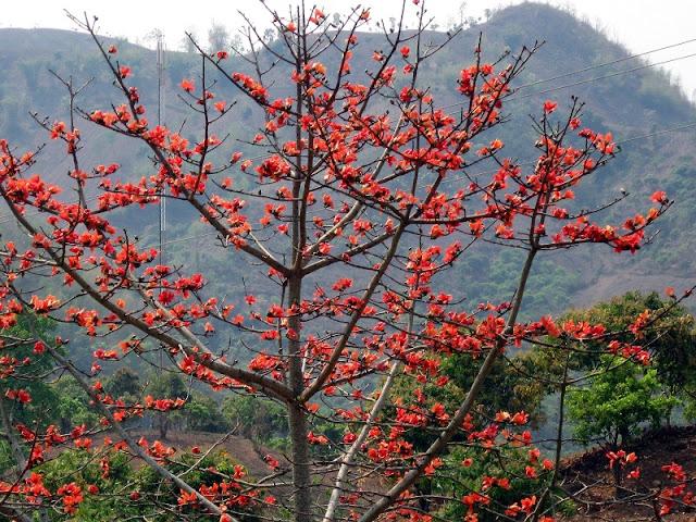 Red silk cotton trees in full bloom in Northwest Vietnam 1