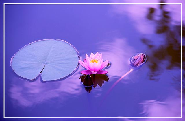Imagem em tom púrpura de uma flor de lótus boiando ao lado de um lírio