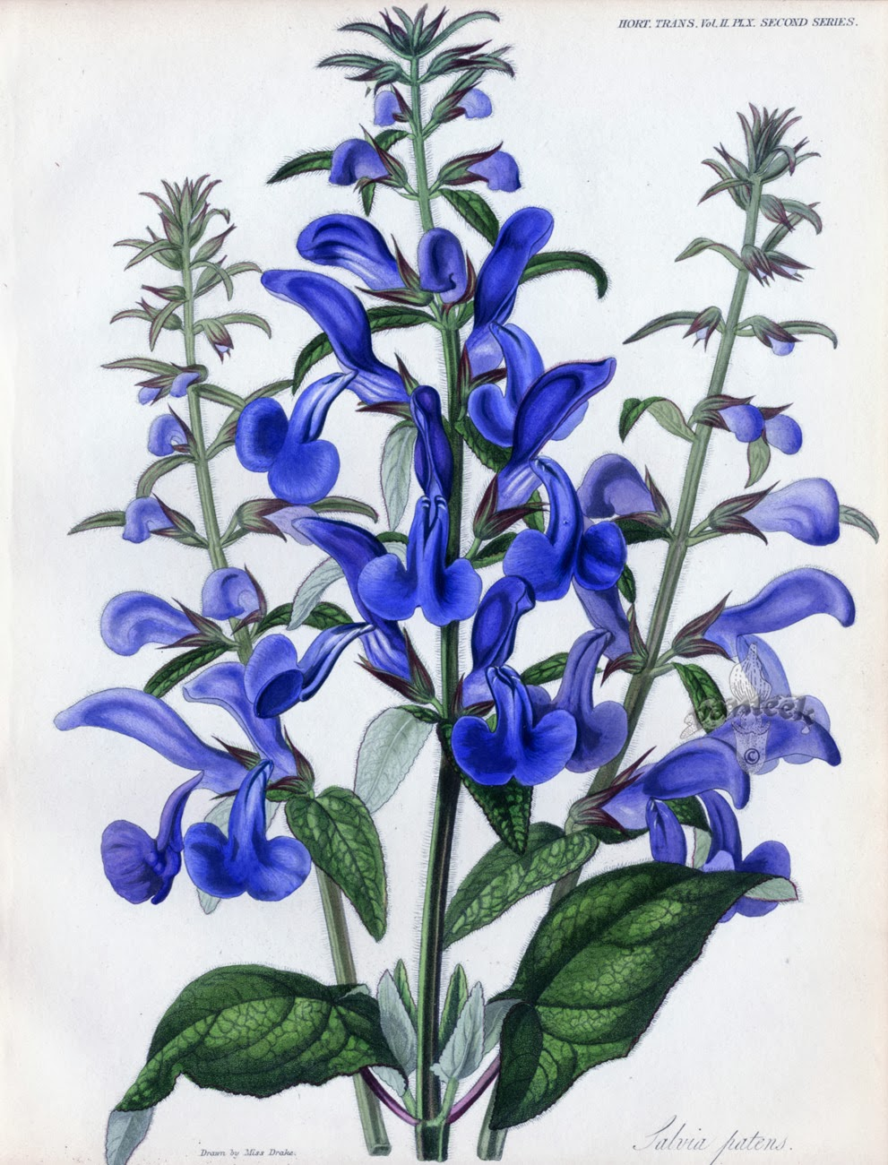 Salvia Patens The Garden Of Eaden