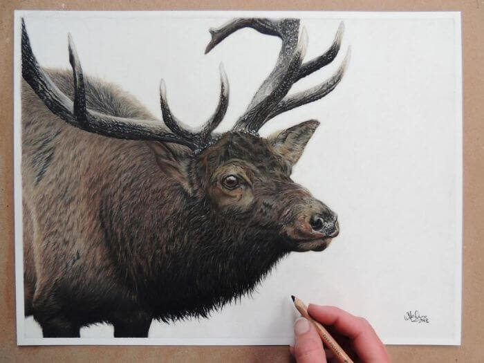 04-Bull-Elk-Shannon-Mayhew-Drawings-by-Domestic-and-wildlife-Animal-Artist-www-designstack-co
