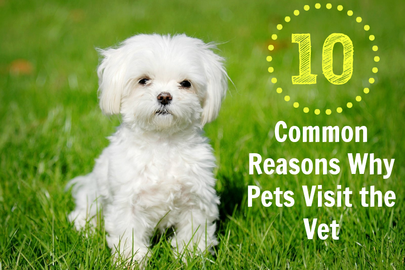 10 Common Reasons why dogs and cats visit the vet