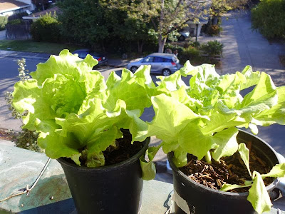Lettuce one gallon container