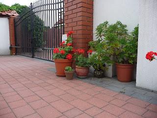 sadzenie pelargonii