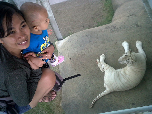 Orang Tua Lengah, Anak TK Diterkam Harimau di Jatim Park 2
