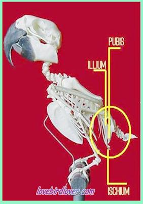 menentukan jenis kelamin lovebird
