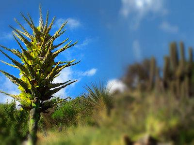 Detalle roseta de puya chilensis en Cascabeles, Los Vilos