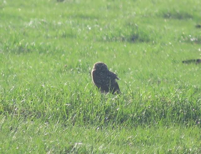 Burrowing Owl - Stormwater Treatment Area 5/6, Florida