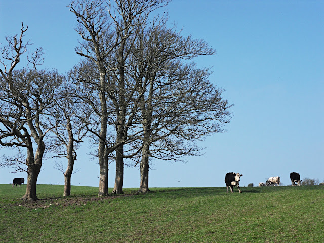 Cows in the field near Menabilly, Cornwall