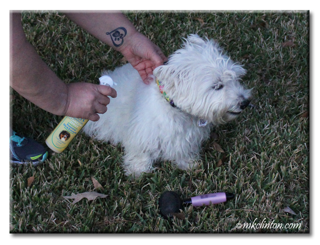 Westie being sprayed with EQyss Detangler