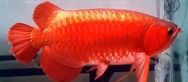 Gambar Ikan Arwana Super Red yang Dijual Mahal dengan Ciri-Ciri Bagus
