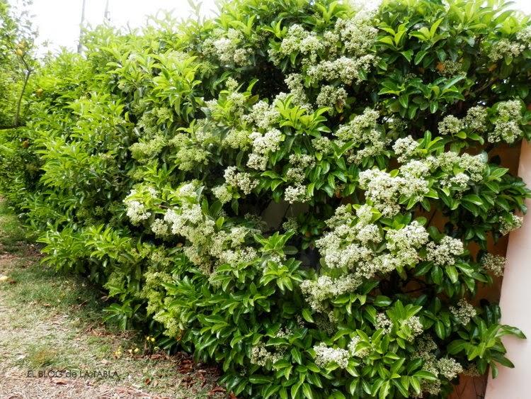 seto vivo de arbusto perenne con flores en primavera que atraen abejas