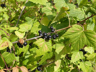 Groseillier noir - Ribes nigrum - Cassis - Cassissier