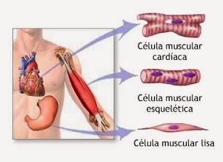 El tejido muscular cardíaco