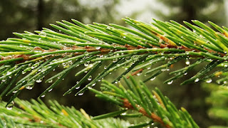 Fir Tree and Morning Dew - DOF Sony HX9V