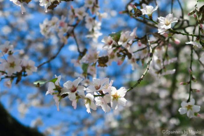 スペインの桜にそっくりなアーモンドの花
