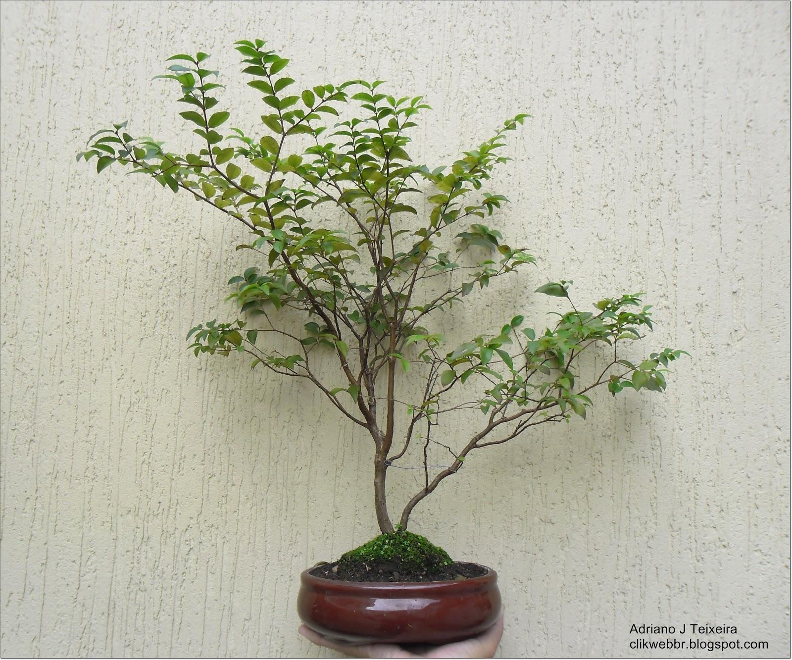 Bonsaiclik como cuidar e cultivar seu bonsai tarefas for Como cultivar bonsais