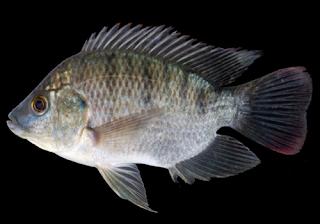Kandungan Ikan Mujair - Gambar dan klasifikasi