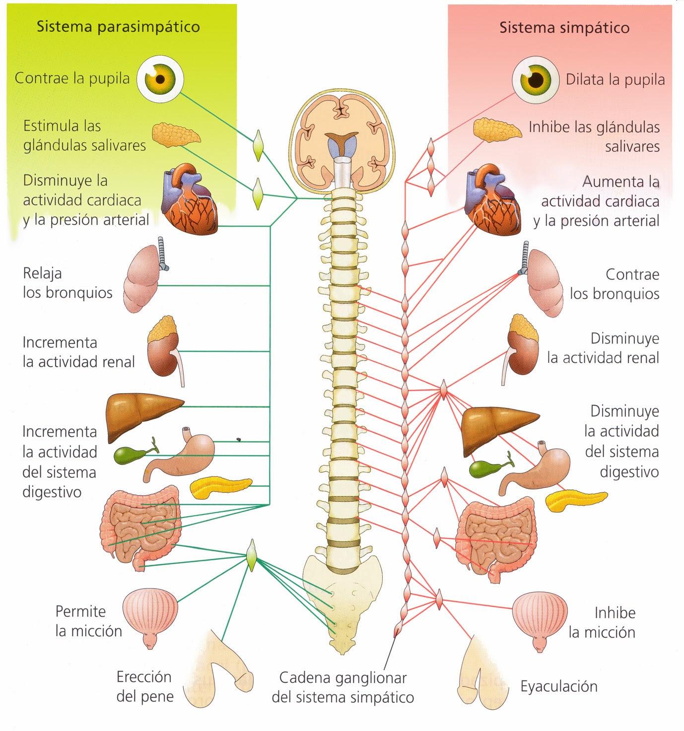 sistema nervosos central periferico vegetativo simpático parasimpático