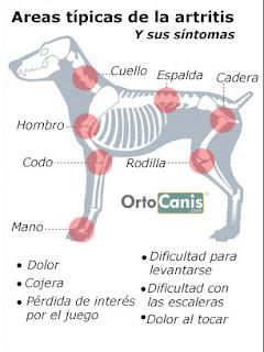 La artritis del perro comúnmente ocurre en razas grandes de perros y perros mayores.