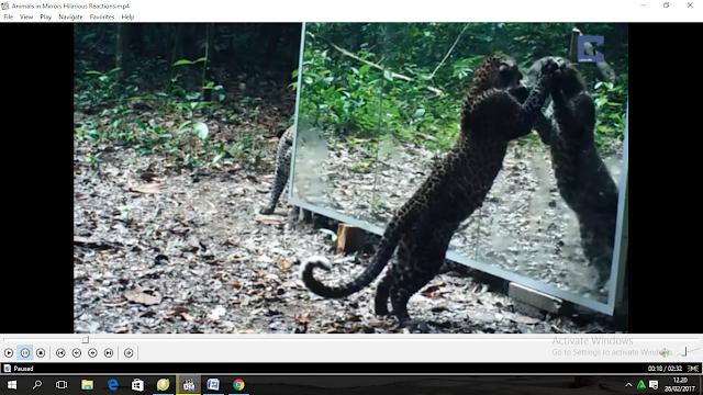 raeksi hewan liar saat melihat cermin terbaru
