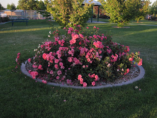 Lawn with large deep pink rose bush.