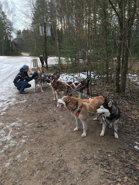 Dog sled riga latvia disover latvia tours