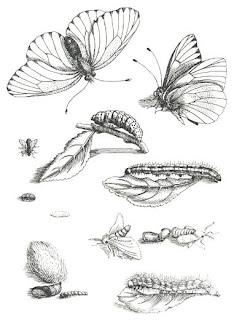 Maria Sibylla Merian Bitkiler ve Böcekler