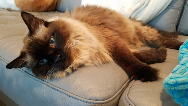 image of Matilda the Fuzzy Sealpoint Cat lying on the sofa, staring into space dreamily