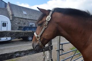 A bright bay horse wearing a grey head collar