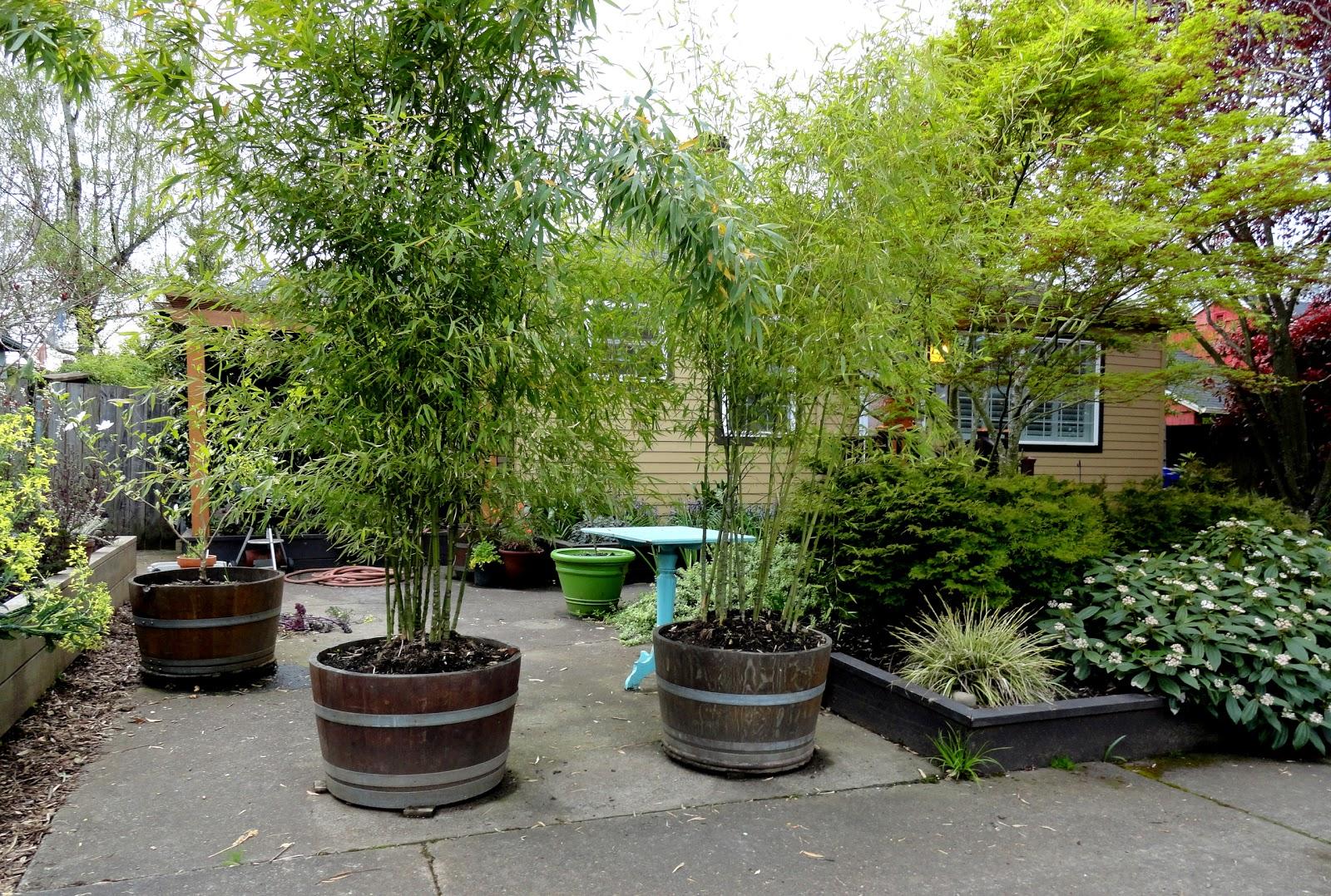 Danger Garden Bamboo For Privacy A Follow Up