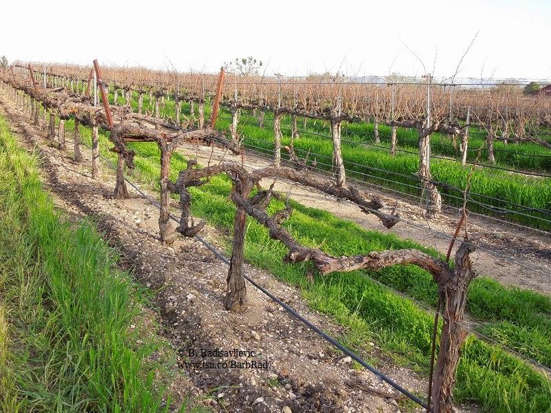 A Photo Walk Through the Vineyards of Zenaida Cellers