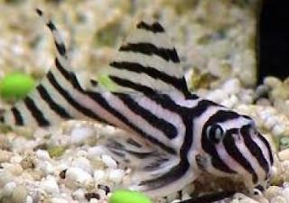 Ikan Sapu-Sapu Hias Hypancistrus Zebra