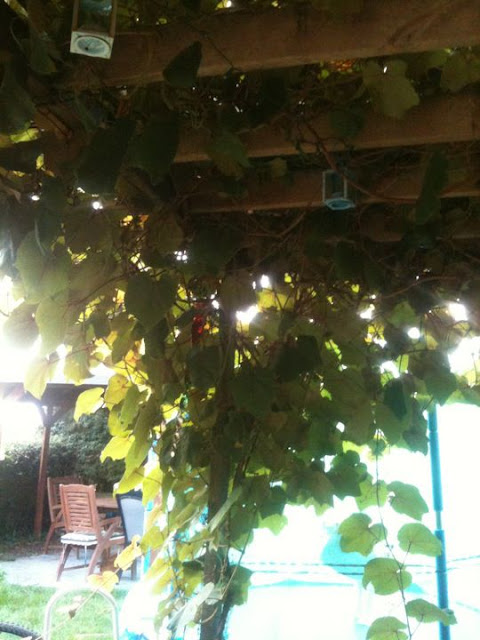 grapevine in UK garden
