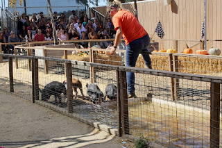 Underwood Farms Pig Races. (c) the joyous living.