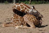 жирафы ночью спят лежа