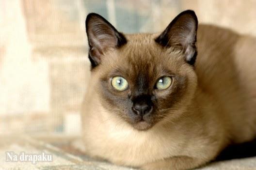 Dziedziczenie umaszczenia tonkijskiego u kotów